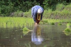 Agricoltori di Karen che lavorano al giacimento del riso Immagini Stock Libere da Diritti