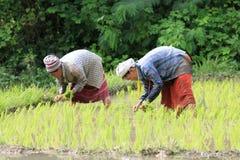 Agricoltori di Karen che lavorano al giacimento del riso Immagine Stock