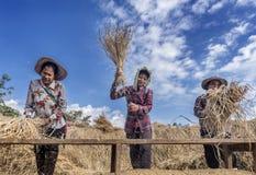 Agricoltori di signora che trebbiano risaia contro il piatto di legno per separare i grani della risaia dalle paglie di riso, Tai Immagini Stock Libere da Diritti