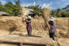 Agricoltori di signora che trebbiano risaia contro il piatto di legno per separare i grani della risaia dalle paglie di riso, Tai Immagine Stock