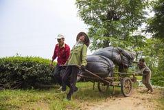 Agricoltori di tè asiatici che portano i pacchetti di tè dalla collina alla fabbrica del tè Fotografia Stock Libera da Diritti
