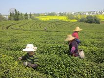 Agricoltori di tè che selezionano tè nei campi cinesi del tè Fotografie Stock Libere da Diritti