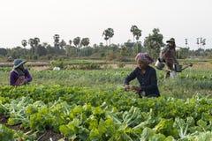 Agricoltori di verdure che coltivano i campi, Cambogia Immagini Stock Libere da Diritti