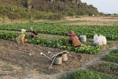 Agricoltori di verdure che coltivano i campi, Cambogia Immagine Stock Libera da Diritti