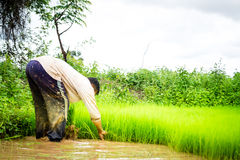 Agricoltori e riso Immagini Stock Libere da Diritti
