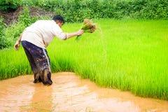 Agricoltori e riso Fotografie Stock