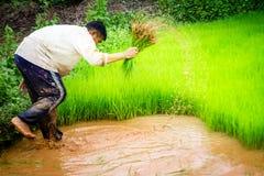 Agricoltori e riso Immagine Stock Libera da Diritti