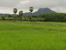 Agricoltori e riso e montagne dell'azienda agricola in Tailandia Immagine Stock Libera da Diritti