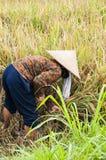 Agricoltori editoriali documentari di immagine che raccolgono riso nei campi Fotografia Stock
