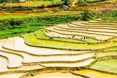 Agricoltori etnici che piantano riso sui campi Fotografia Stock