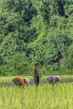 Agricoltori felici del riso nel Laos Fotografie Stock
