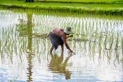 Agricoltori femminili che piantano riso a mano Immagini Stock Libere da Diritti