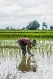 Agricoltori femminili che piantano riso a mano Fotografie Stock Libere da Diritti