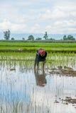 Agricoltori femminili che piantano riso a mano Fotografia Stock