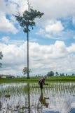 Agricoltori femminili che piantano riso a mano Fotografia Stock Libera da Diritti