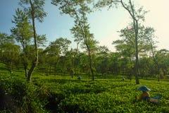 Agricoltori femminili che raccolgono al paesaggio del raccolto del tè Fotografie Stock Libere da Diritti