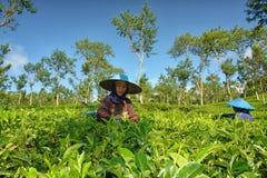 Agricoltori femminili delle coppie che raccolgono le foglie di tè Immagine Stock