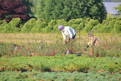 Agricoltori indo-canadesi nel campo Fotografia Stock Libera da Diritti
