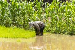 Agricoltori - l'agricoltura della Tailandia ha cominciato già nel campo Immagini Stock
