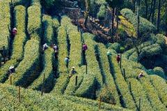 Agricoltori in Longjing Fotografia Stock Libera da Diritti