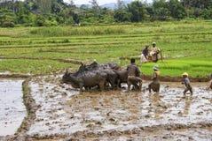 Agricoltori malgasci che arano campo agricolo nel modo tradizionale Fotografie Stock