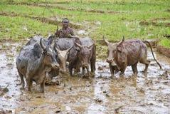 Agricoltori malgasci che arano campo agricolo nel modo tradizionale Immagine Stock Libera da Diritti