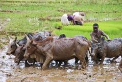Agricoltori malgasci che arano campo agricolo nel modo tradizionale Fotografia Stock Libera da Diritti