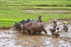 Agricoltori malgasci che arano campo agricolo nel modo tradizionale Fotografia Stock