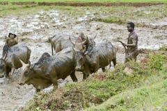 Agricoltori malgasci che arano campo agricolo nel modo tradizionale Immagine Stock