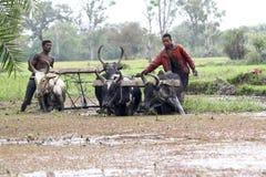 Agricoltori malgasci che arano campo agricolo in tradizionale Fotografie Stock Libere da Diritti