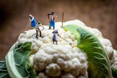Agricoltori miniatura che lavorano nel giacimento del cavolfiore Macro foto Fotografie Stock Libere da Diritti