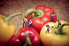 Agricoltori miniatura che raccolgono i suoi peperoni dolci Immagine Stock