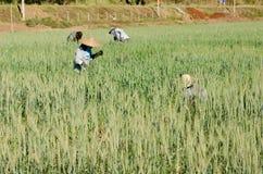 Agricoltori nei campi di orzo Immagine Stock Libera da Diritti