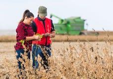 Agricoltori nei giacimenti della soia prima del raccolto Immagine Stock