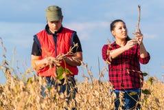 Agricoltori nei giacimenti della soia prima del raccolto Immagini Stock Libere da Diritti