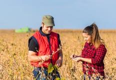 Agricoltori nei giacimenti della soia prima del raccolto Fotografia Stock Libera da Diritti