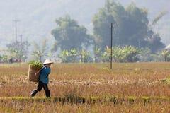 Agricoltori nel giacimento del riso Fotografie Stock Libere da Diritti