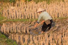 Agricoltori nel giacimento del riso Fotografia Stock