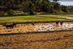 agricoltori nel Madagascar che lavora nelle risaie Fotografia Stock Libera da Diritti