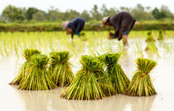 Agricoltori nella crescita tailandese tradizionale del riso della Tailandia Immagini Stock