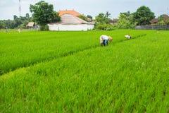 Agricoltori nelle risaie Fotografia Stock