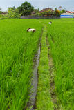 Agricoltori nelle risaie agricoltura Fotografia Stock