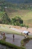Agricoltori nelle risaie sommerse Fotografia Stock