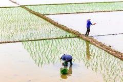 Agricoltori non identificati che piantano riso sul campo in Namdinh Fotografia Stock