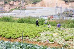 Agricoltori sul campo, città del Lat del Da, provincia di Lam Dong, Vietnam Immagine Stock