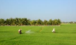 Agricoltori sul giacimento del riso Immagine Stock