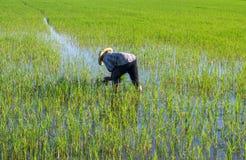 Agricoltori sul giacimento del riso Fotografia Stock