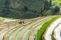 Agricoltori sul giacimento del riso nel Vietnam Immagine Stock