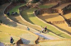 Agricoltori sulle risaie a terrazze nel Vietnam Immagine Stock