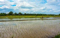 Agricoltori tailandesi che coltivare le nuove risaie nella campagna della Tailandia Fotografie Stock Libere da Diritti